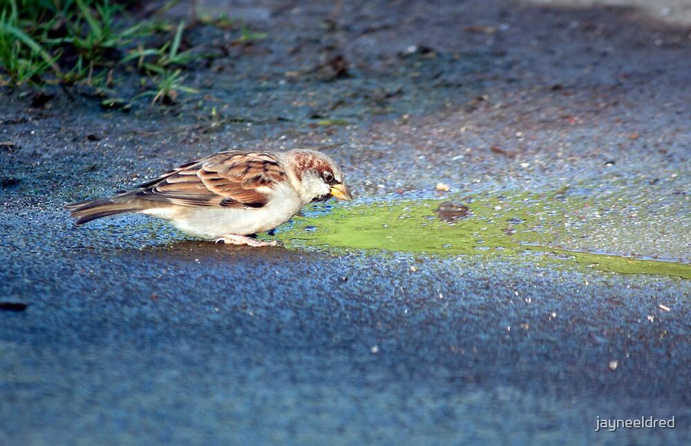 Hawaiian Sparrow II by jayneeldred