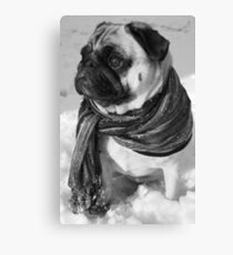 Snow Pug Canvas Print