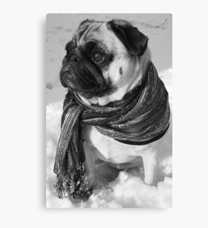 Snow Pug Canvas Print
