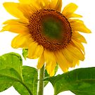 Sunflower Days by Paul Gitto