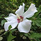 Rose of Sharon by Cynthia by mussermd