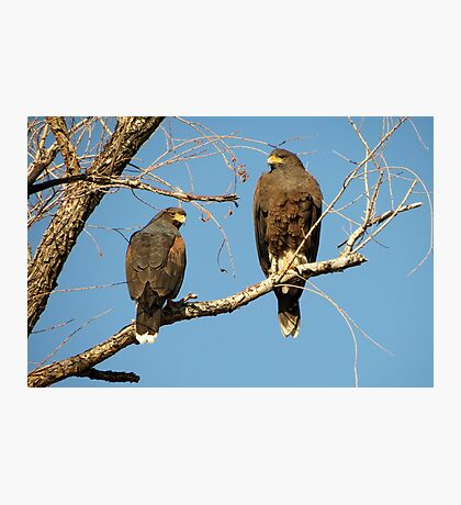 Harris's Hawks Photographic Print