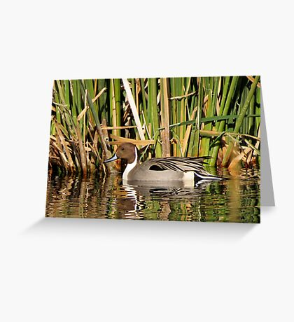 Northern Pintail (Male) Greeting Card