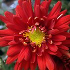 Chrysanthemum by Rusty Katchmer