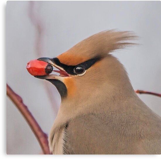 Waxwing Portait by MikeSquires