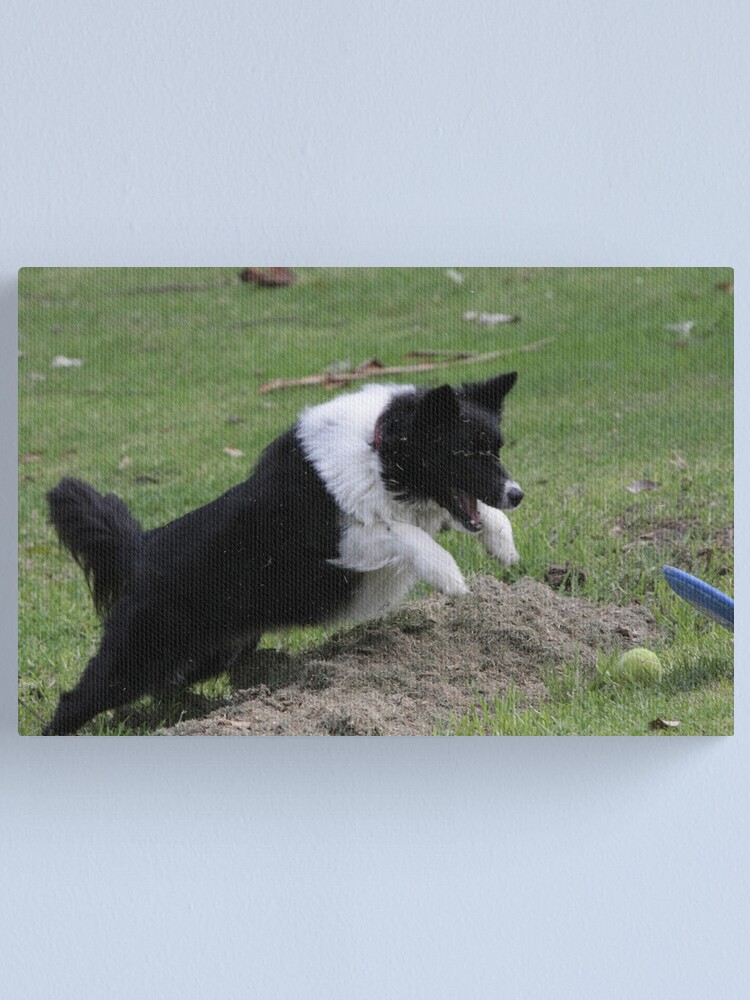 Alternate view of Border Collie Pouncing Canvas Print