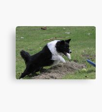 Border Collie Pouncing Canvas Print