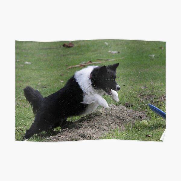 Border Collie Pouncing Poster