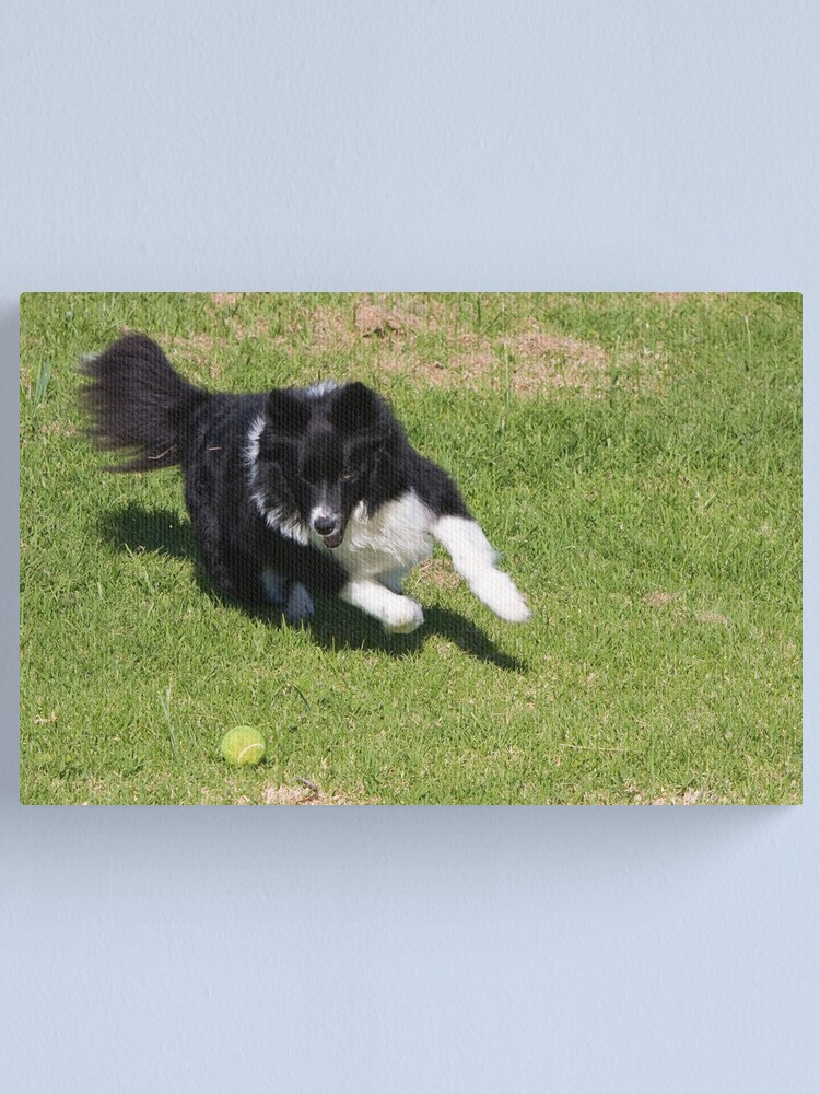 Alternate view of Border Collie Chasing Canvas Print