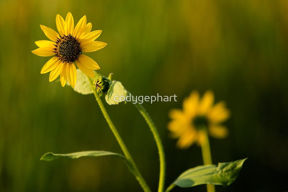 Sunflower  by codygephart