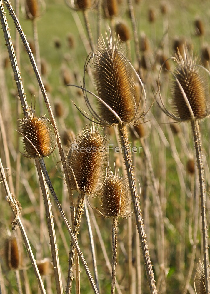 Dried Thistle by Reese Ferrier