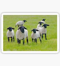 Suffolk Sheep Sticker