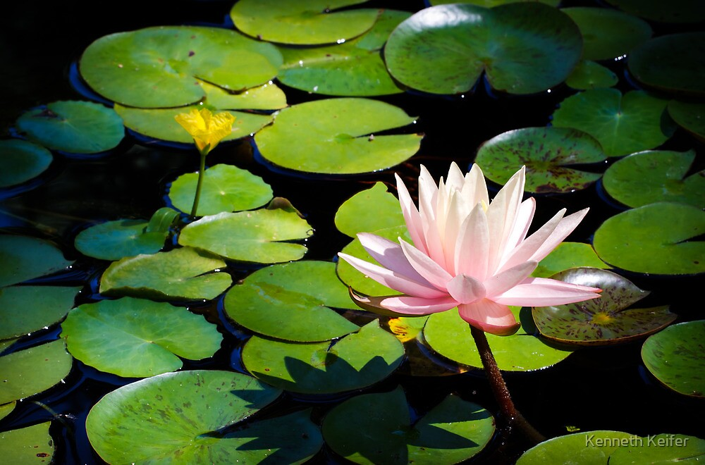 Pink Water Lily Flower above a  Pond by Kenneth Keifer