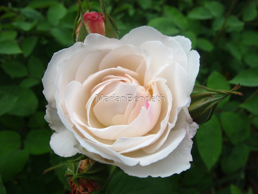 Pearl Rose by MarianBendeth