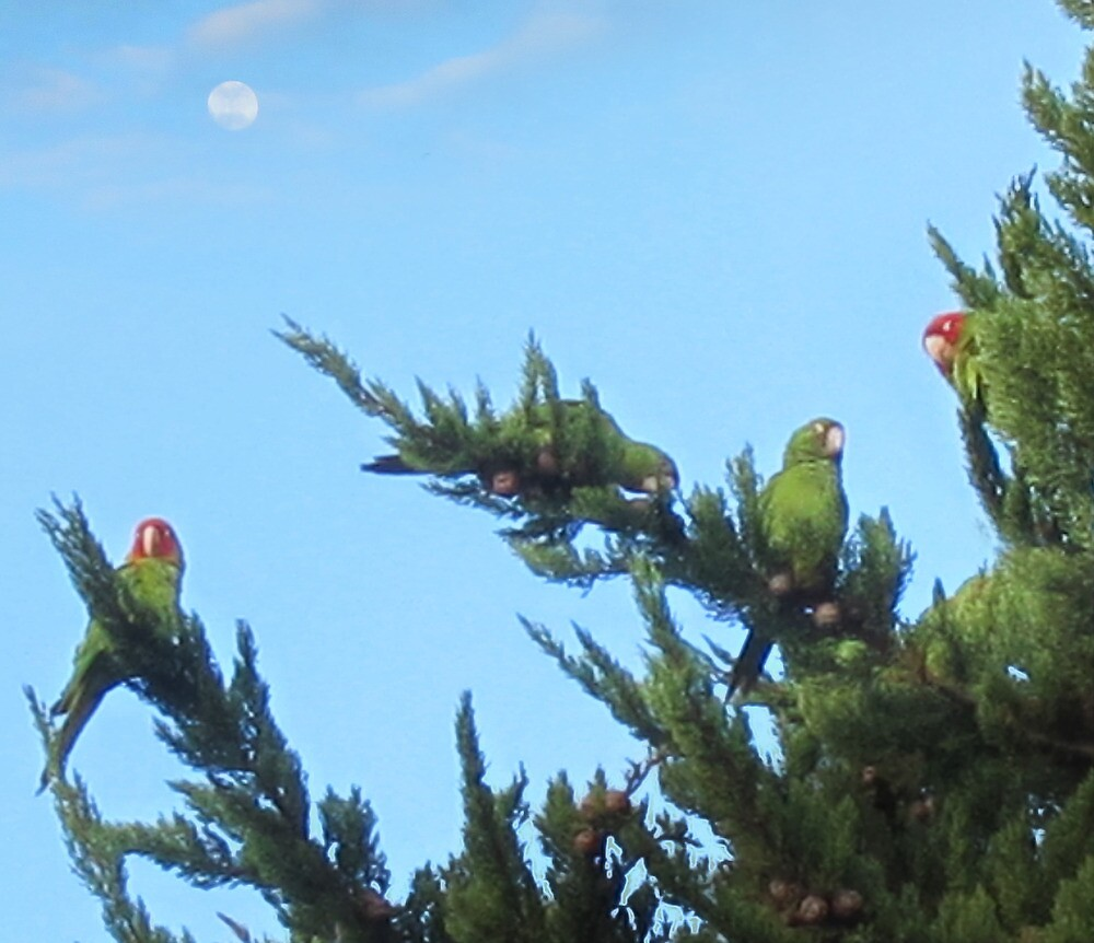 Parrots of Telegraph Hill 2 by David Denny