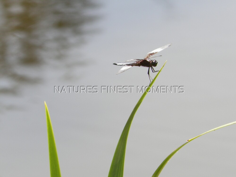 Dragonfly  by NATURES FINEST MOMENTS