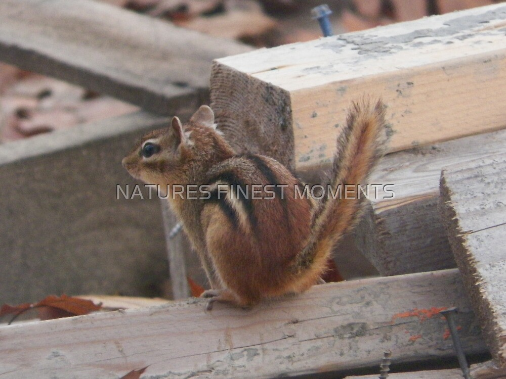 Chipmunk by NATURES FINEST MOMENTS