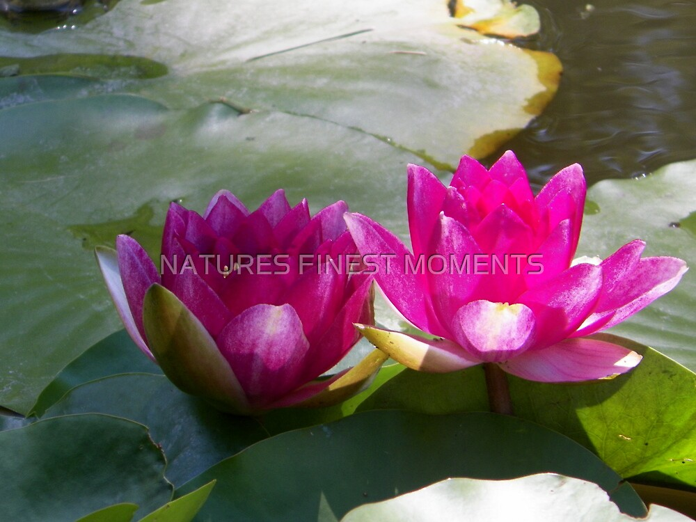 Lily's Flowering by NATURES FINEST MOMENTS