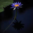 Water Lily and Shadow-3261 by Barbara Harris