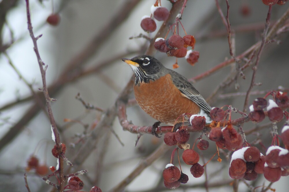 Robin Winter Wonderland by Sharon Hagler