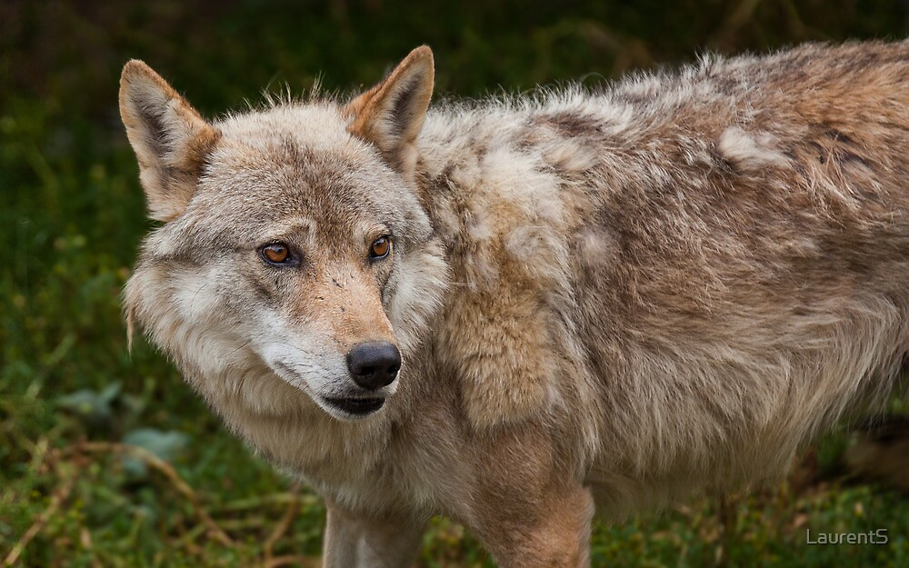 Wolf with beautiful eyes by LaurentS