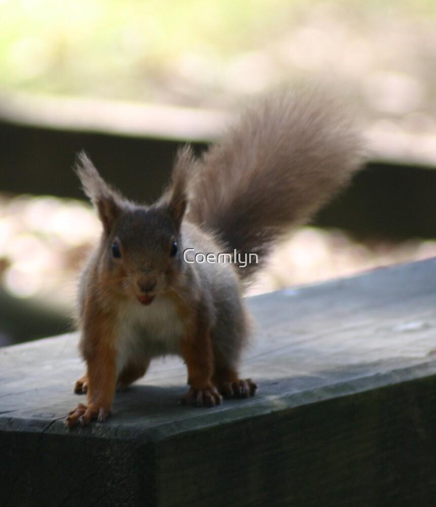 Nutty Red Squirrel by Coemlyn