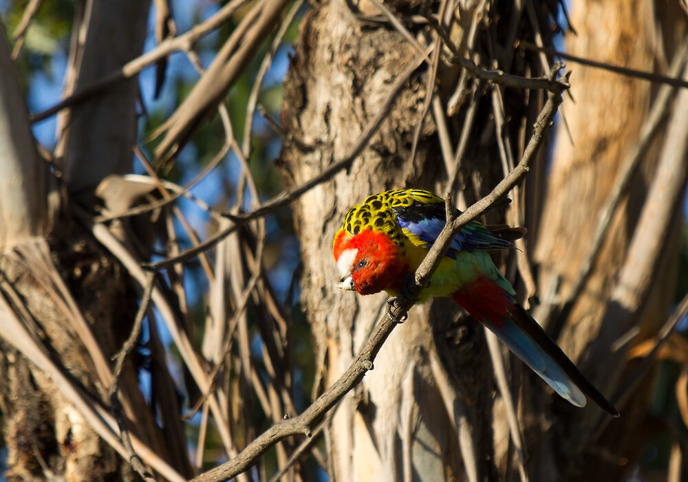 Eastern Rosella by DJCPhotography