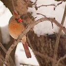 Female cardinal perched by Penny Fawver