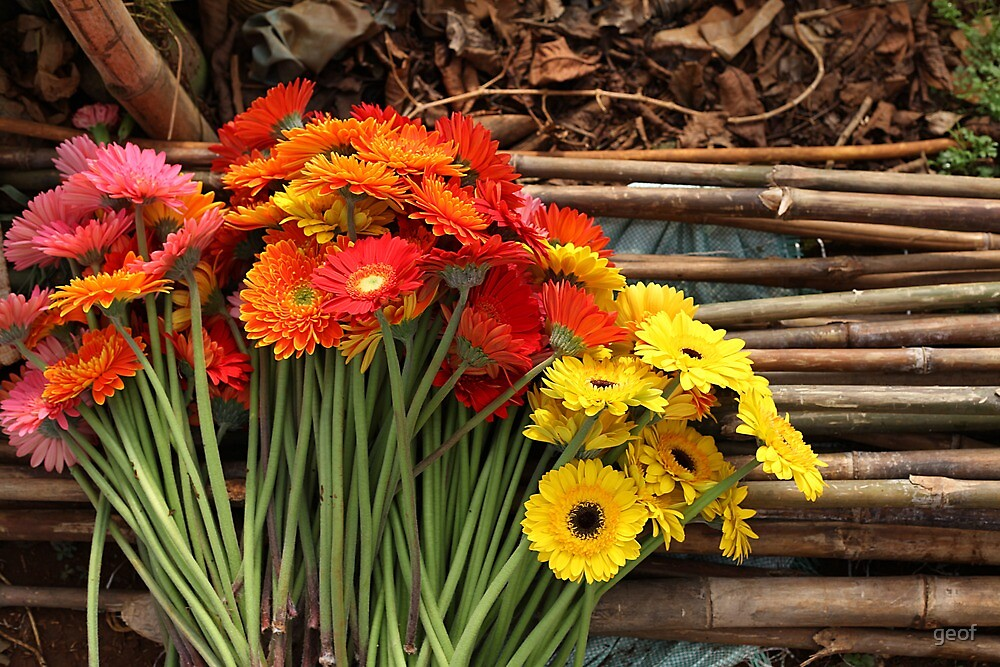 the humble Gerbera by geof