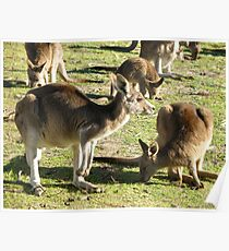 Aussie Roos Poster