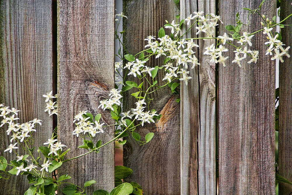Vine on the Fence by Joy  Rector