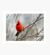 Northern Cardinal in a Maple Tree Art Print