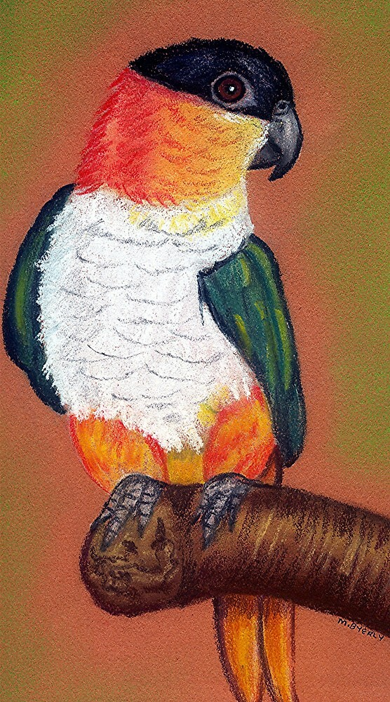 Black Headed Caique Bird Poster Print & Card by Oldetimemercan