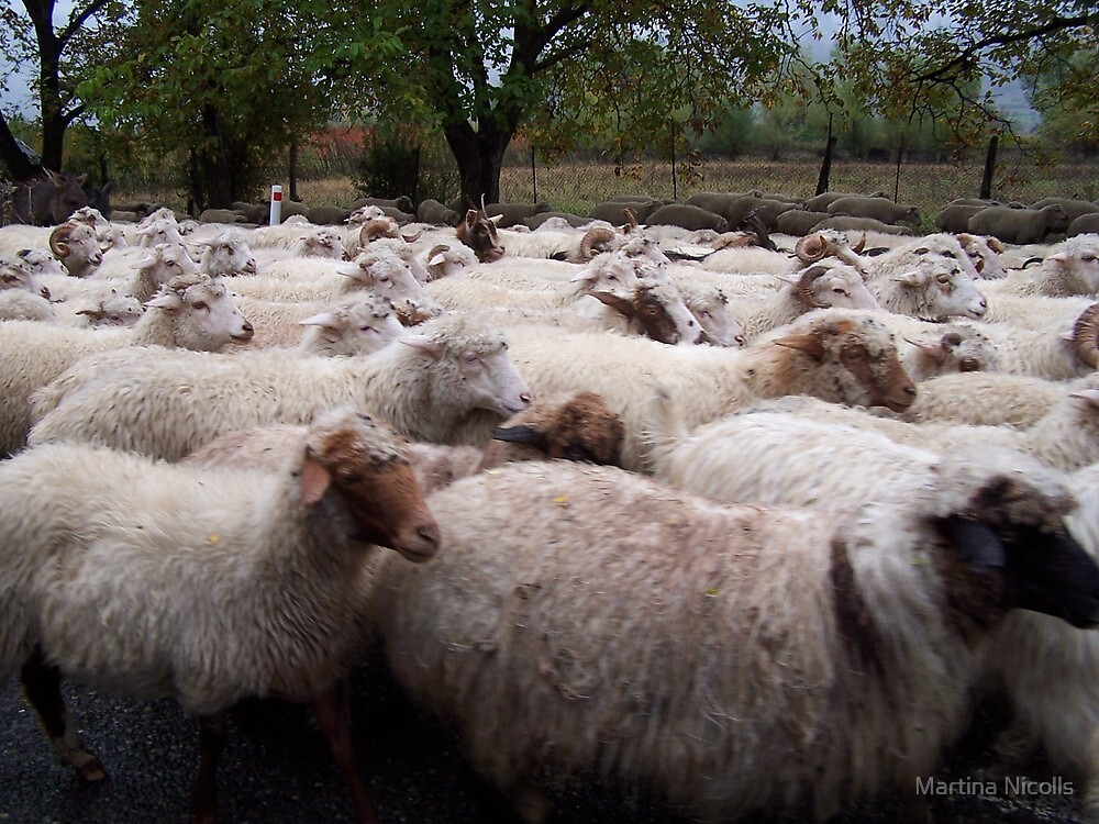 Sheep, Georgia by Martina Nicolls