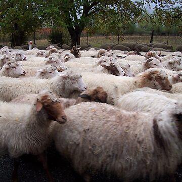 Sheep, Georgia by martina