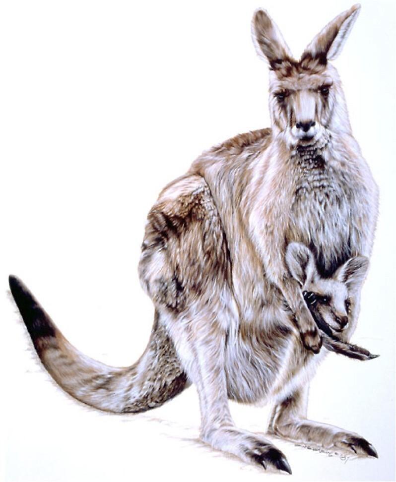 Kangaroo by ZiyaEris