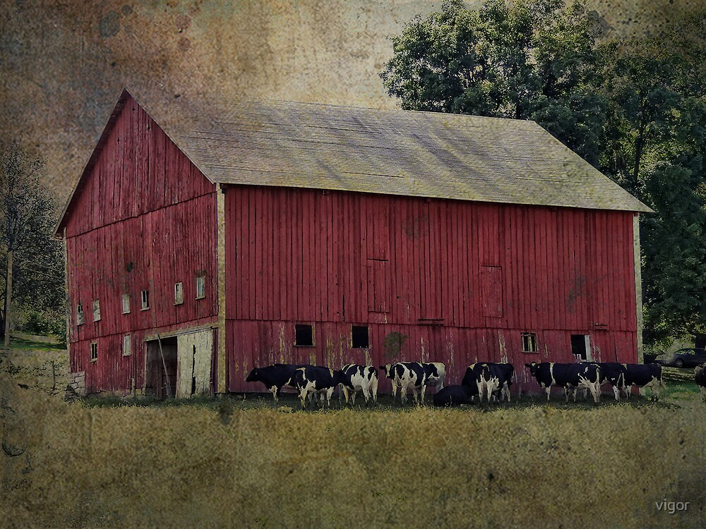 Cows by the Barn by vigor