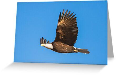 Bald Eagle in Flight by Jim Stiles