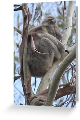 Koala in the Wild by Jacqueline  Murphy