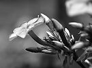 Pink Flowers in Black and White by William Martin
