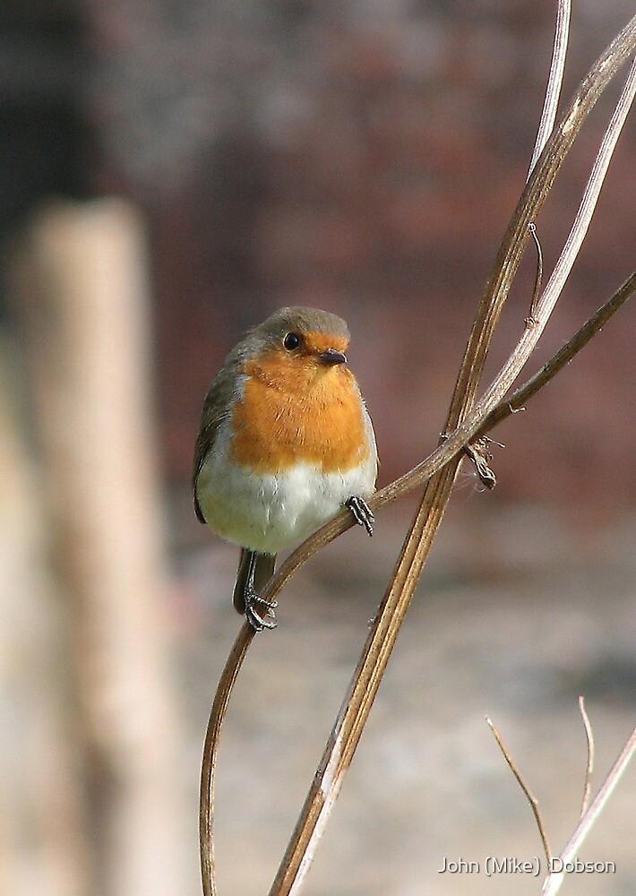 Robin by John (Mike)  Dobson