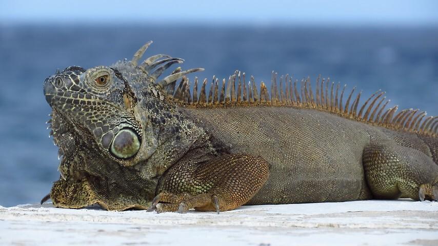 Iguana  by wutang4life36