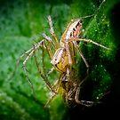 Elegant Lynx Spider - Oxyopes elegans by Normf
