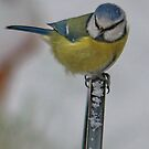 Blue Tit by Michaela1991