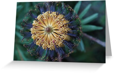 Banksia spinulosa by orko