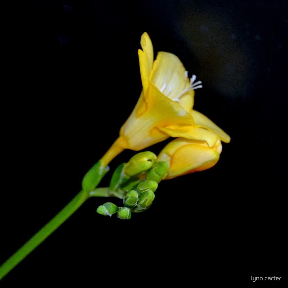 Yellow Freesia by lynn carter