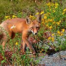 Friendly Fox by James Anderson