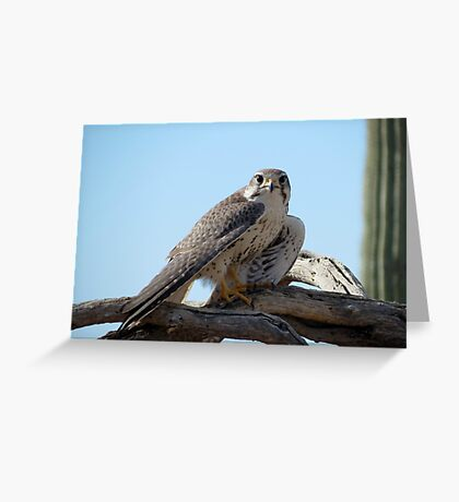 Prairie Falcon~ Eye Contact Greeting Card