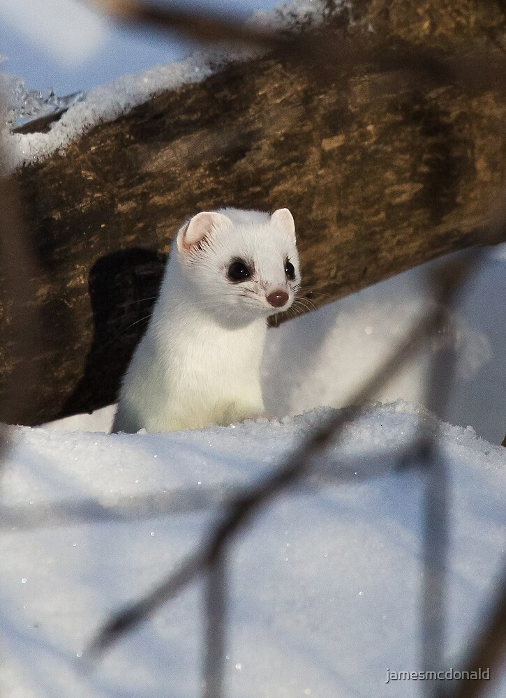 Ermine by jamesmcdonald