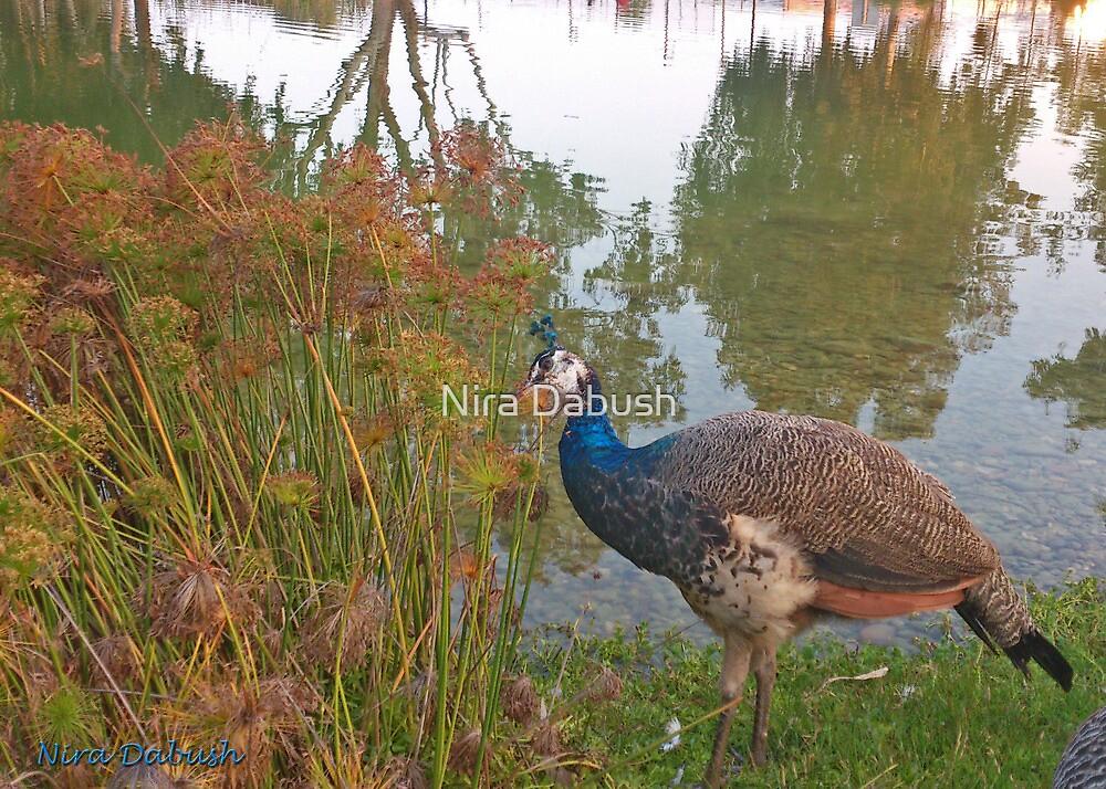 Peacocks, Where I walk.. by Nira Dabush
